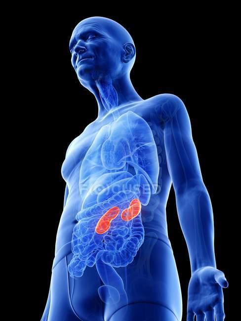 Ilustración digital de los riñones en el cuerpo del hombre mayor . - foto de stock