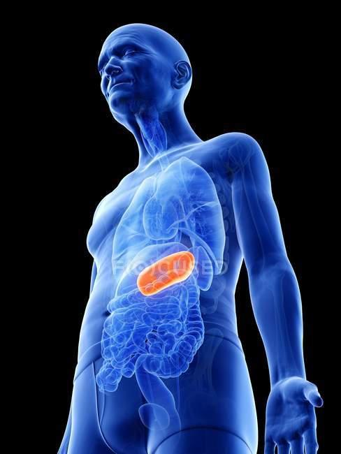 Ilustración digital del estómago en el cuerpo del hombre mayor . - foto de stock
