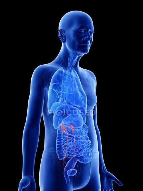Ilustración digital de uréteres en el cuerpo del hombre mayor . - foto de stock