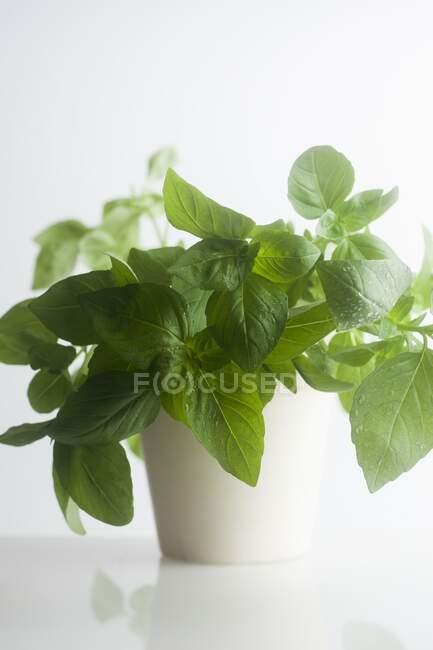 Maceta blanca de hojas de albahaca verde Ocimum basilicum . - foto de stock