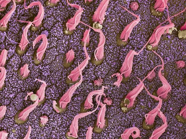 Micrógrafo electrónico de barrido coloreado de haces de células de cilios sensoriales en mácula utriculi dentro del laberinto del oído interno humano . - foto de stock