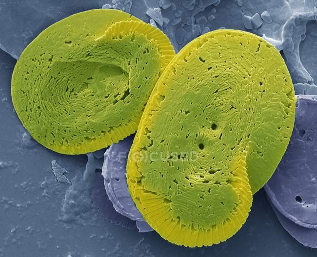 Colored scanning electron micrograph of coccoliths calcium carbonate plates from coccolithophore algal organisms. — Stock Photo