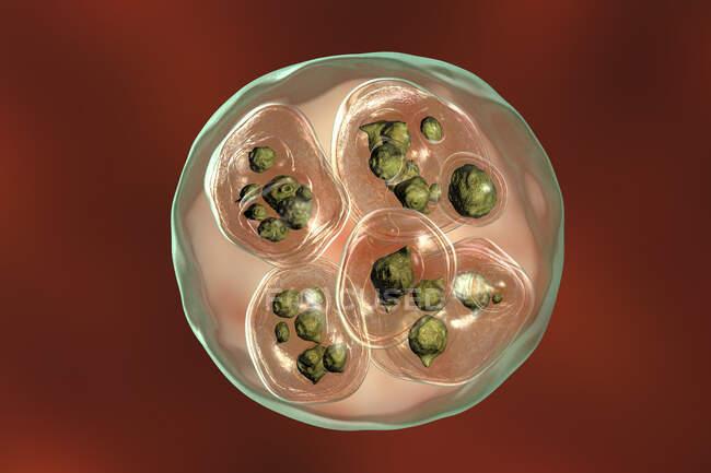 Echinoccosis multilocularis hydatid cist, компьютерная иллюстрация — стоковое фото