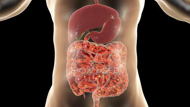 Flora normal del intestino humano, ilustración conceptual por computadora - foto de stock