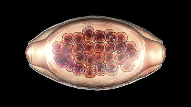 Яйцо паразитического червя Trichuris trichiura, компьютерная иллюстрация — стоковое фото
