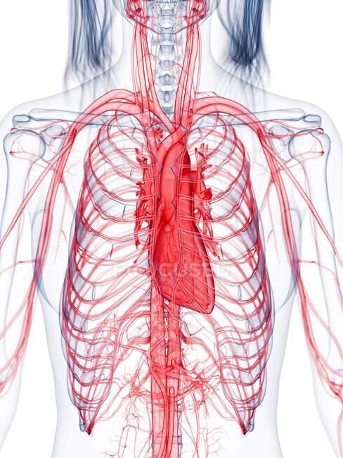 Sistema vascular femenino saludable, ilustración por computadora - foto de stock