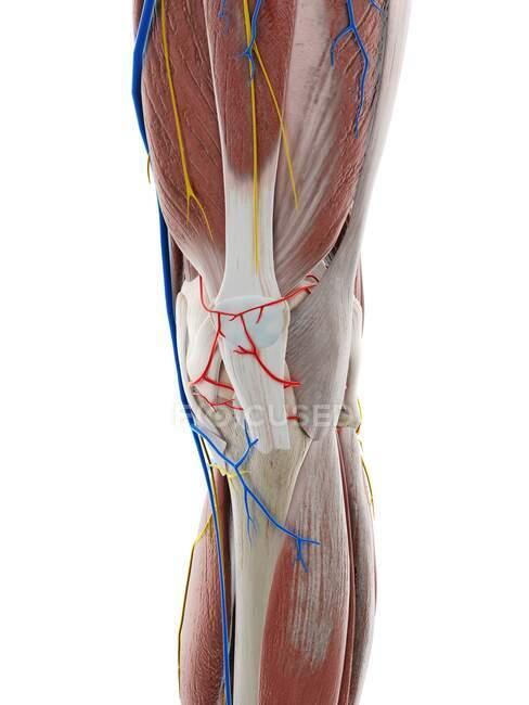 Anatomía de la rodilla, ilustración por ordenador - foto de stock