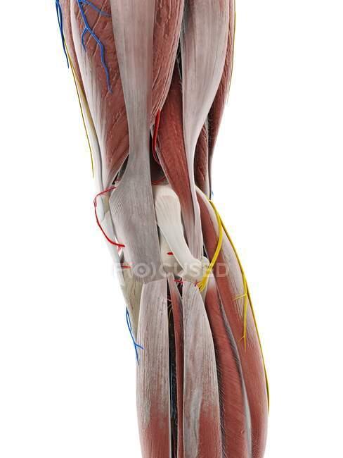 Anatomia do joelho, ilustração computacional — Fotografia de Stock