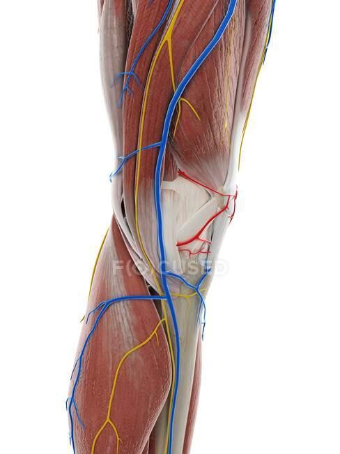 Anatomia del ginocchio, illustrazione al computer — Foto stock