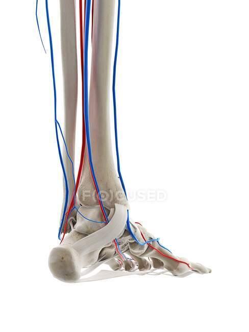 Vasos sanguíneos del pie, ilustración por ordenador - foto de stock