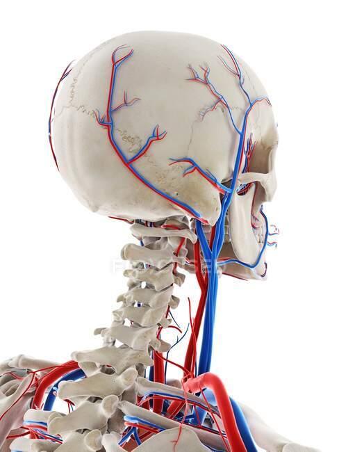 Vasos sanguíneos de la cabeza, ilustración por ordenador - foto de stock