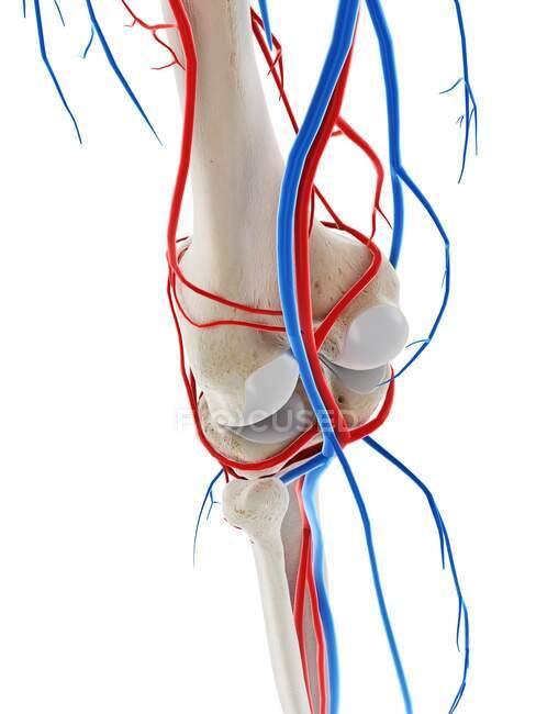 Vasos sanguíneos de la rodilla, ilustración por computadora - foto de stock