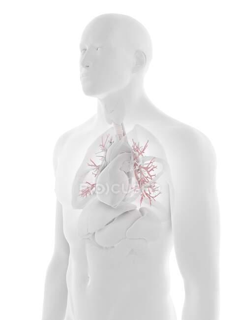 Bronquios humanos, ilustración por computadora - foto de stock