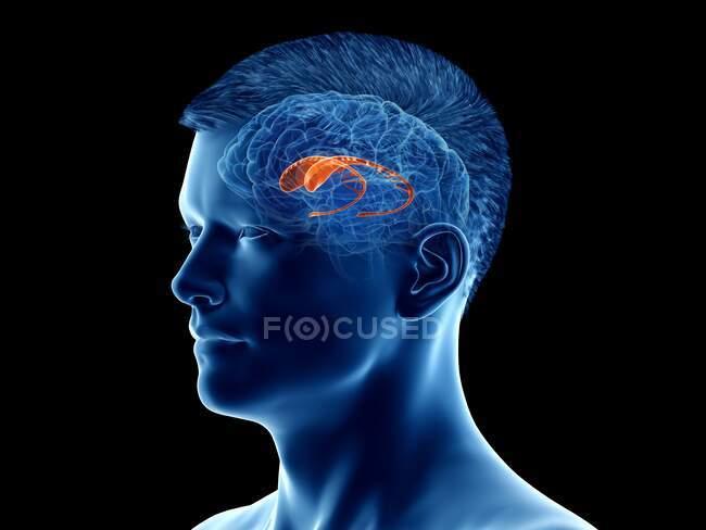 Núcleo caudado del cerebro, ilustración por ordenador - foto de stock
