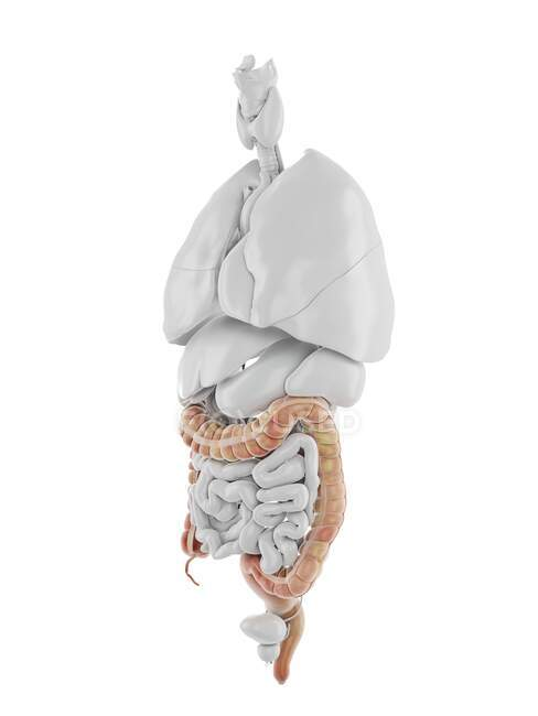 Human Colon, computer illustration — Stock Photo