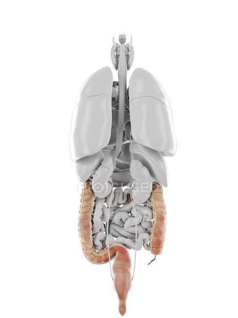 Humano Colon, ilustración por ordenador - foto de stock