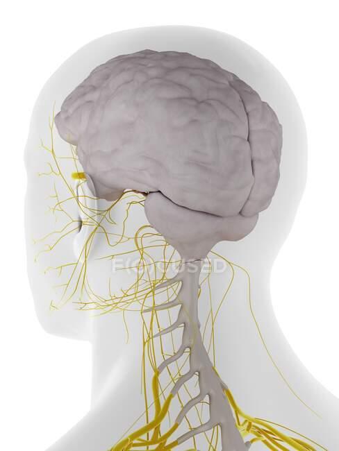 Dura mater del cerebro, ilustración por ordenador - foto de stock