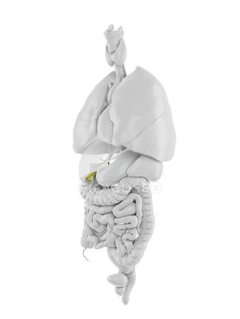 Vesícula biliar humana, ilustración por ordenador - foto de stock
