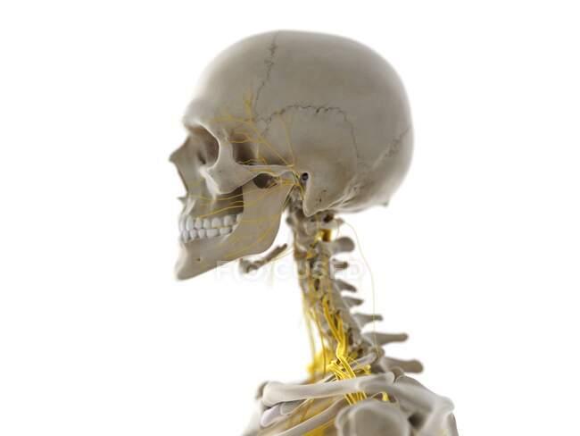 Nervios de cabeza y cuello, ilustración - foto de stock