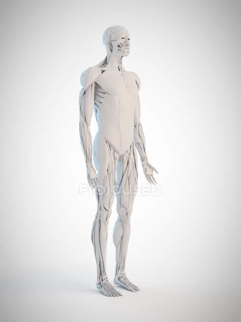 Анатомия человека, компьютерная иллюстрация — стоковое фото