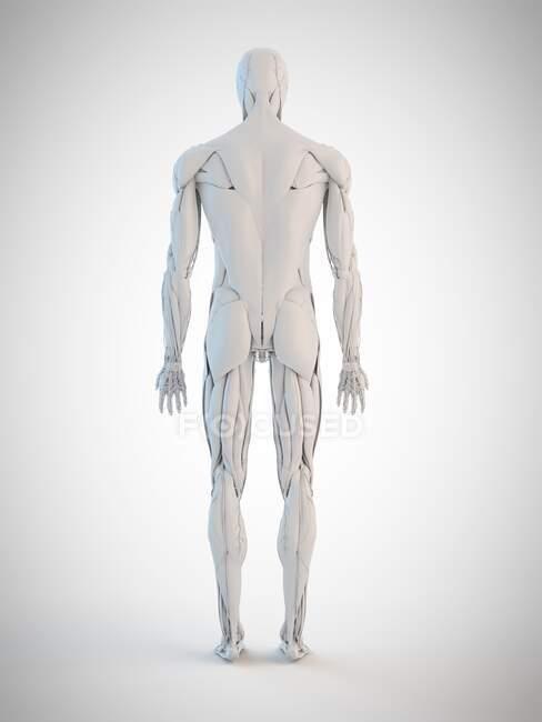 Anatomia humana, ilustração computacional — Fotografia de Stock