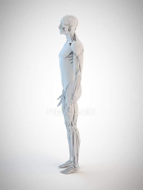 Anatomía humana, ilustración por ordenador - foto de stock