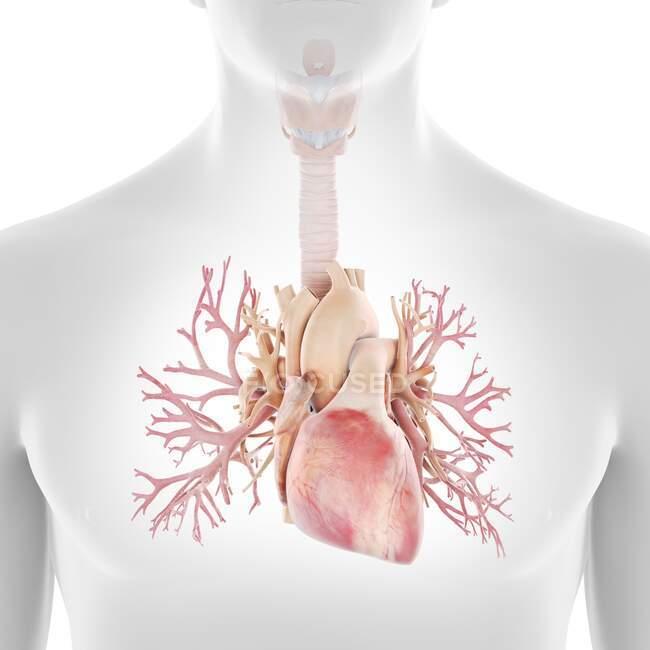 Bronquios humanos y corazón, ilustración - foto de stock