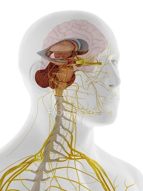 Внутренняя анатомия мозга, иллюстрация. — стоковое фото