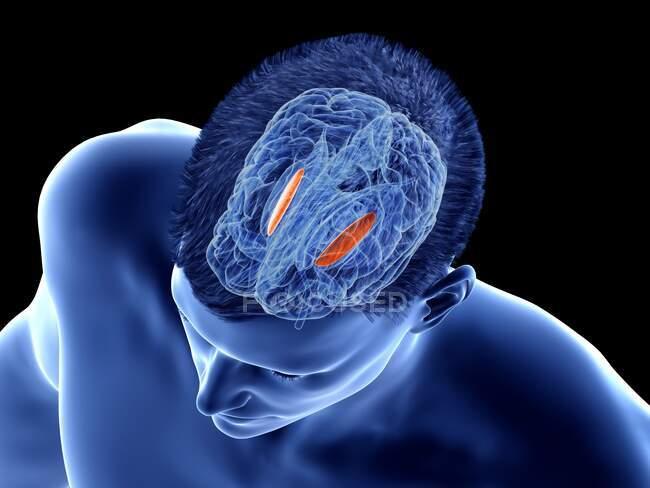 Globo pálido lateral del cerebro, ilustración por ordenador - foto de stock
