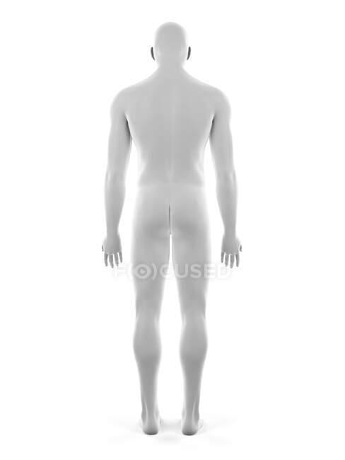 Cuerpo masculino, ilustración por ordenador - foto de stock
