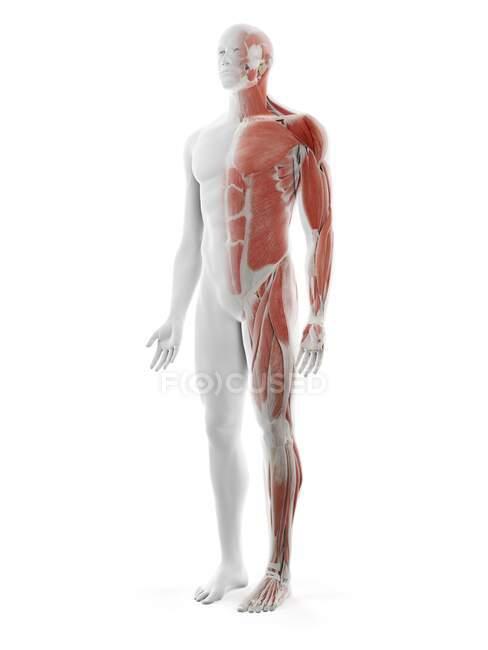 Système musculaire masculin, illustration par ordinateur — Photo de stock