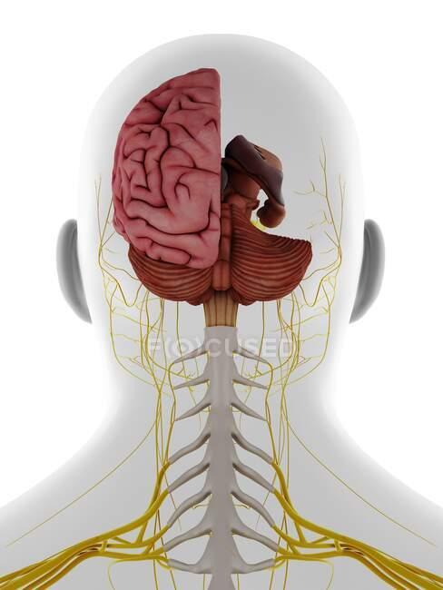 Cabeza y cuello masculinos nervios y cerebro, ilustración. - foto de stock