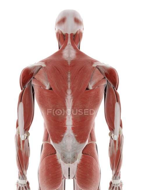 Músculos de la espalda, ilustración por ordenador - foto de stock