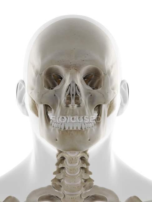 Людський череп, комп'ютерна ілюстрація — стокове фото