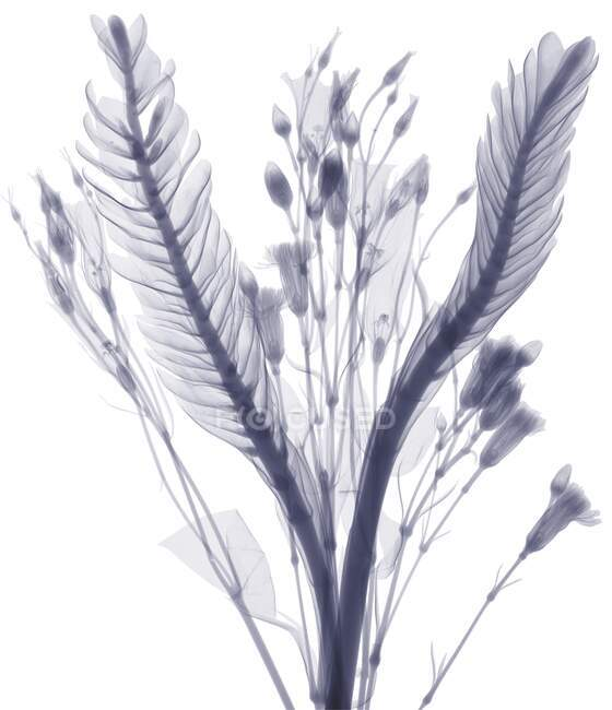 Long leaves and flower buds, X-ray. — Stock Photo