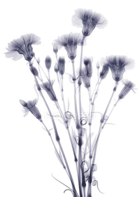 Bundle of flowers (Dianthus sp), X-ray. — Stock Photo