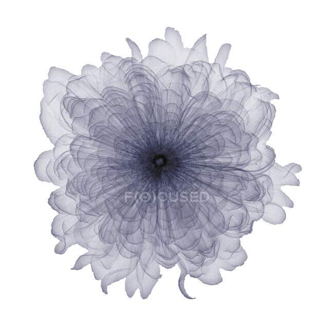 Carnation, X-ray, radiology scan — Stock Photo