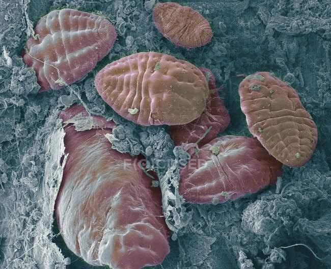 Escamas de insectos. Micrógrafo electrónico de barrido coloreado (SEM) de insectos de escala (superfamilia Coccoidea) en una hoja. Esta plaga se alimenta de la savia de la planta. Secreta un recubrimiento de cera en polvo que lo protege contra pesticidas y depredadores - foto de stock
