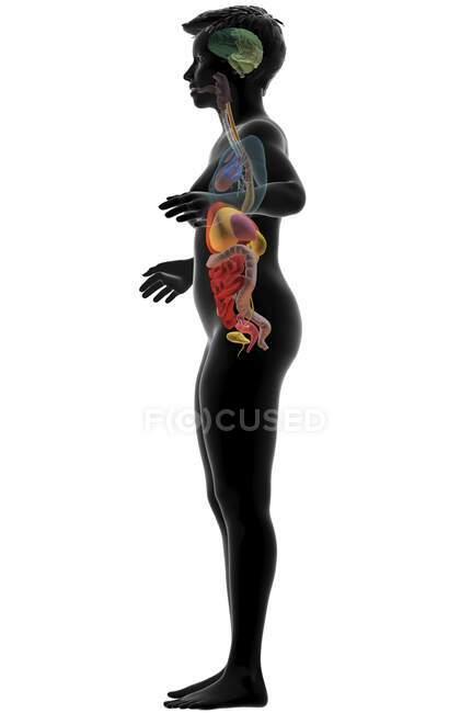 Ilustración por computadora que muestra un cuerpo femenino con los órganos internos del lado izquierdo. - foto de stock