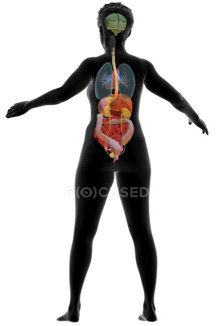 Ilustración por computadora que muestra un cuerpo femenino con los órganos internos de la espalda. - foto de stock