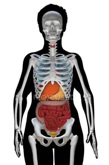 Ilustração do computador mostrando um tronco feminino com os órgãos internos e esqueleto, vista frontal. — Fotografia de Stock