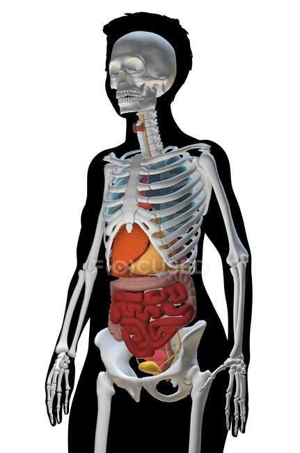 Ilustración de computadora que muestra un torso femenino con los órganos internos y el esqueleto, vista lateral . - foto de stock