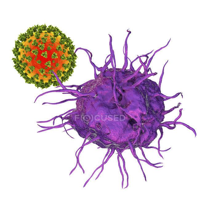 Взаимодействие вируса и дендритных клеток, компьютерная иллюстрация. Дендритные клетки играют решающую роль в инициировании иммунных реакций против вирусов — стоковое фото