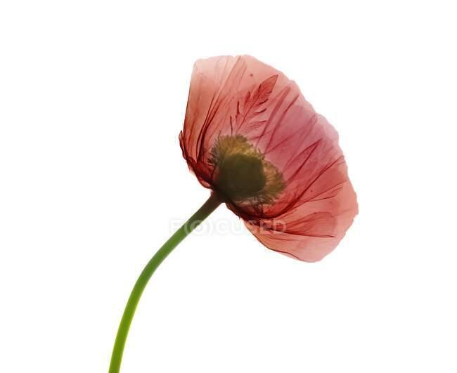 Poppy (Papaver orientalis), coloured X-ray — Stock Photo