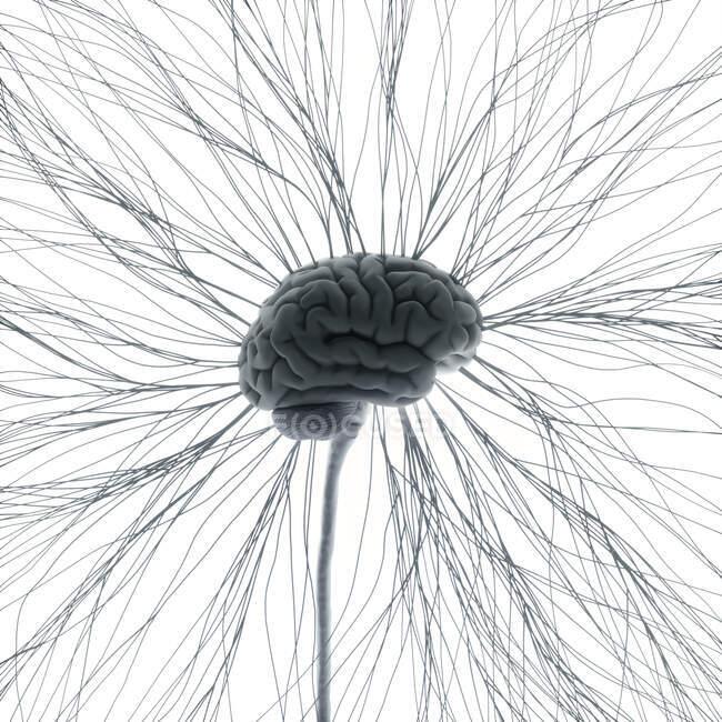 Sistema nervioso humano, ilustración por ordenador - foto de stock