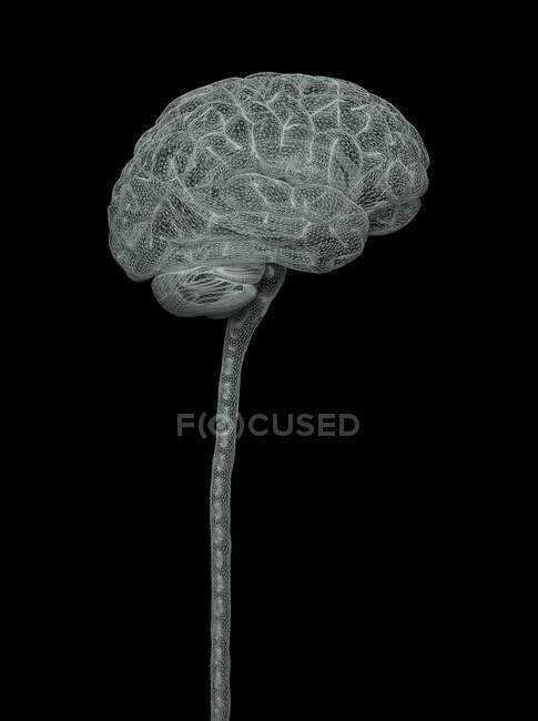 Human brain and spinal cord, illustration. — Fotografia de Stock