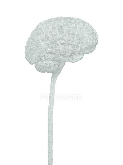 Human brain and spinal cord, illustration. — Stock Photo