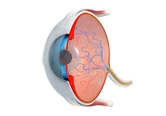 Sección transversal del ojo humano, ilustración 3d. - foto de stock