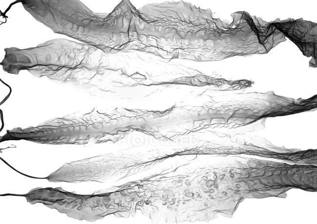 Algues (Saccharina latissima), radiographie. — Photo de stock