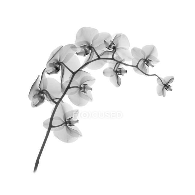 Orchid (Phalaenopsis sp), X-ray. — стокове фото